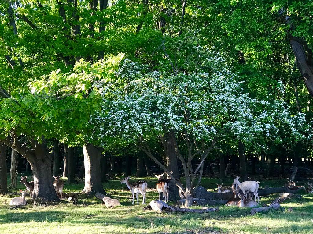 Deer on evening walk in Richmond Park
